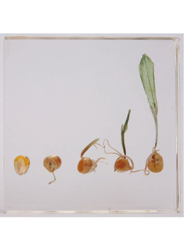 "Resin Educational Specimen""The Sprouting Process of Corn Herbarium"""
