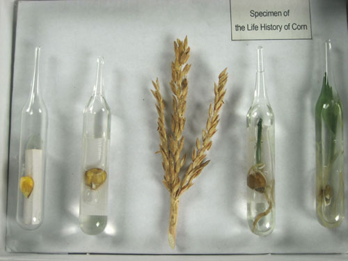 The Life Cycle of Corn Herbarium