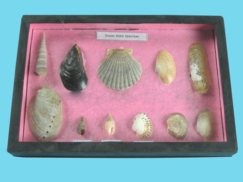 Seashell Samples Collection