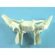 Sphenoid Bone Model