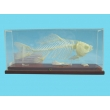 Fish Skeleton Model