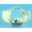 Pelvic Bones