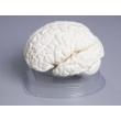 Demonstration Model of Brain Section
