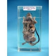 Immersed Rat Dissection