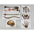 Human Bones