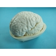 Human Brain Model