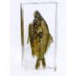 "Resin Educational Specimen""Fish"""