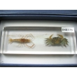 "Resin Educational Specimen""Crustacean Representation Collection"""