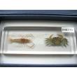 "Resin Educational Specimen""Crustacean Representation Collection"""