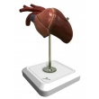 Bird Heart Model