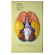 Human Brain Lobes, Bas Relief Model (A)