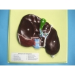 Human Liver Bas Relief Model