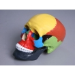 Color-sectioned Human Skull Model