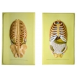 Human Ribcage Bas Relief Model