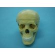 Human Skull Model