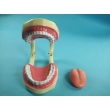 Tooth Hygiene Demonstration Model