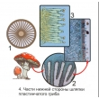 The Reproduction of Umbrella-like Mushrooms Magnetic Demonstration CardsThe Reproduction of Moss Mag