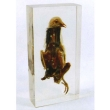 "Resin Educational Specimen""Pigeon"""