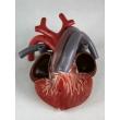 Turtle Heart Model