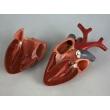 Bird Heart Model