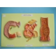 Large and Small Intestines, Bas Relief Model