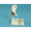 Hip Joint Model with Tendons