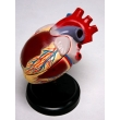 Model of the Human Heart