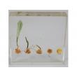 "Resin Educational Specimen""The Sprouting Process of Corn Herbarium"""