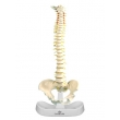 Model of the Human Spine & Pelvic Bone