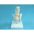 Model of the Pelvis with Lumbar Bones