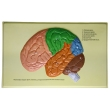 Human Brain Lobes, Bas Relief Model (D)