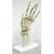 Hand Bone Model