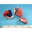 Enlarged Human Heart Model