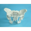 Model of Male Pelvic Bones