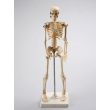 Human Skeleton Model
