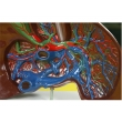 Liver Dissection Model